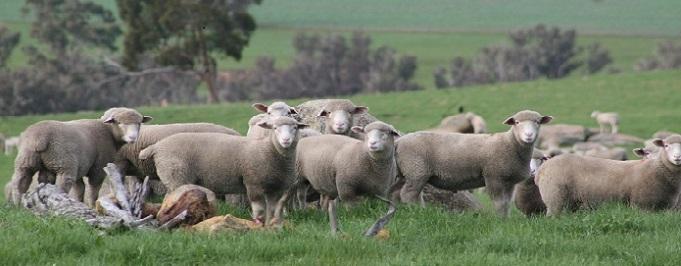 Poll Dorset Weaned Lambs