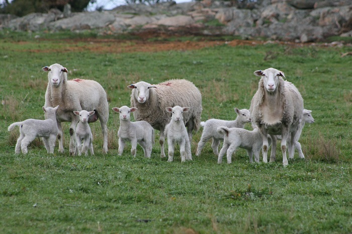kojak%20ewe%20lambs%2015%20months%20of%20age%20with%20twin%20lambs%20at%20foot%20aug%2016.jpg