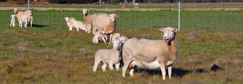 kojak-ewes-lambs.jpg